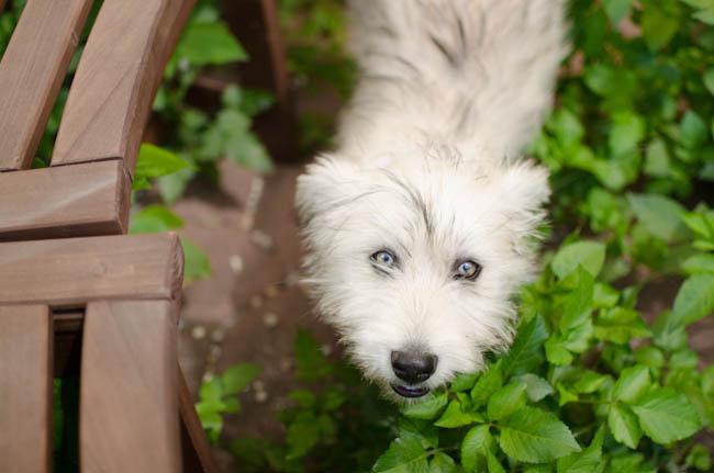 Chowder-Puppy-Karlee-9
